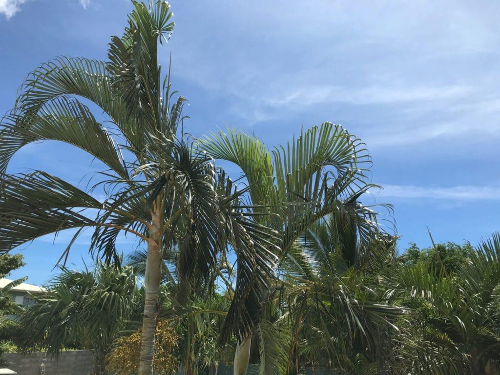 Palmier sur l'île de la Réunion
