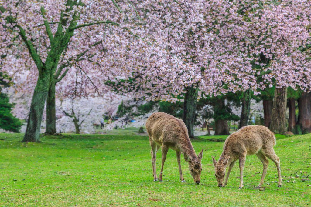 Cerfs Nara et cerisiers du Japon