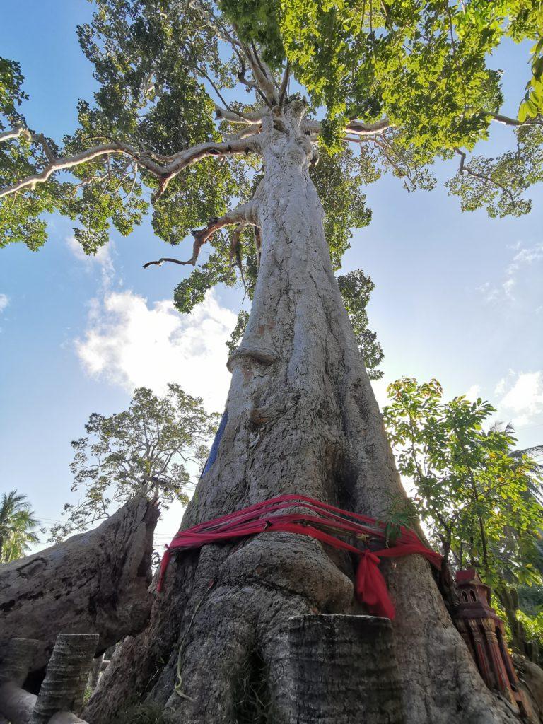 arbre sacre thaïlande