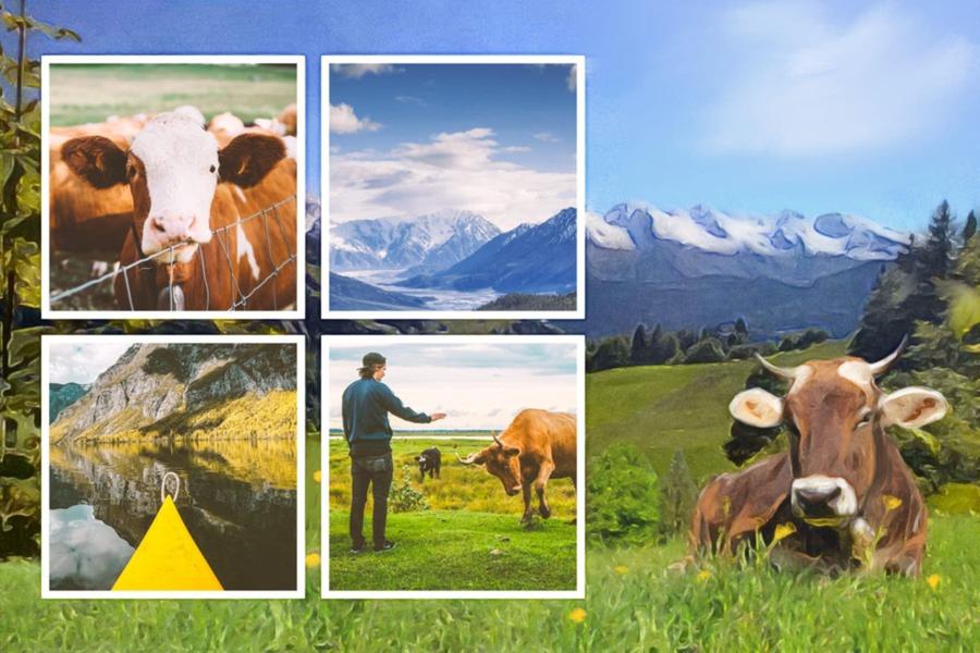 carte postale auvergne vache