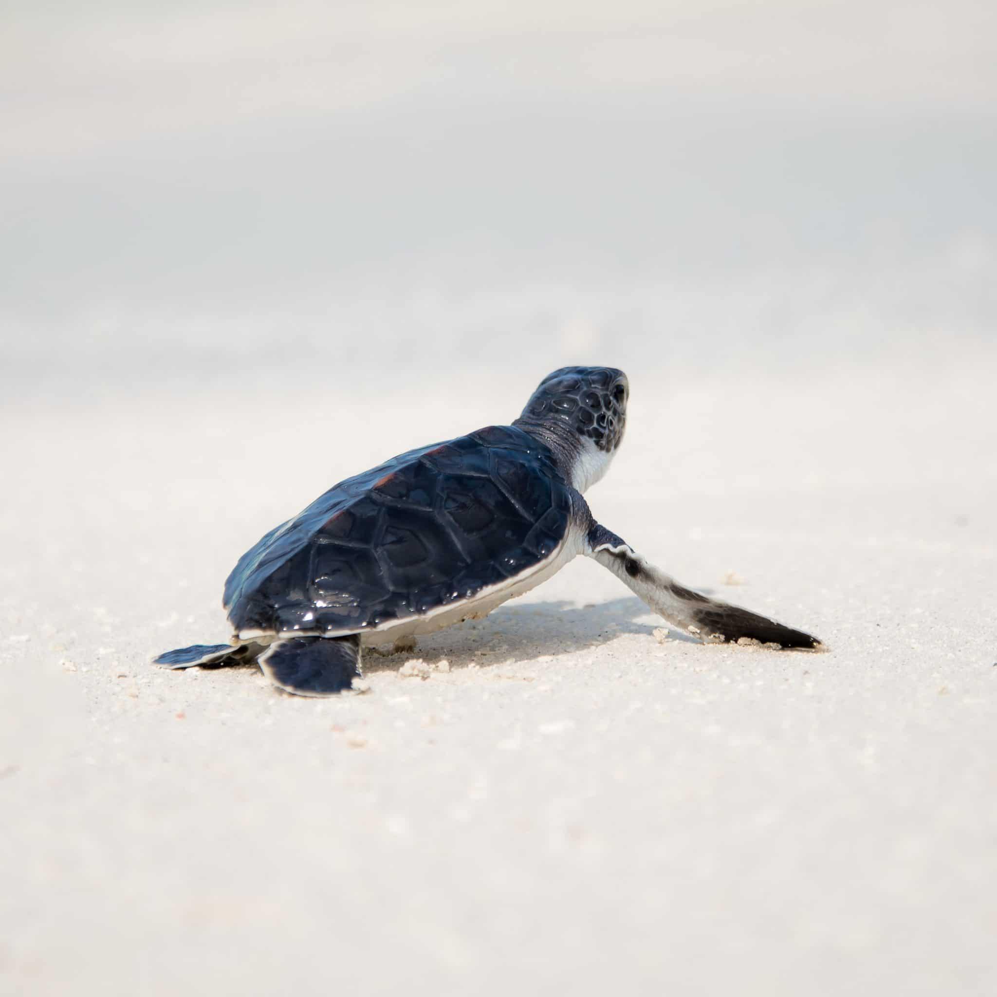 bébé tortue sur la plage