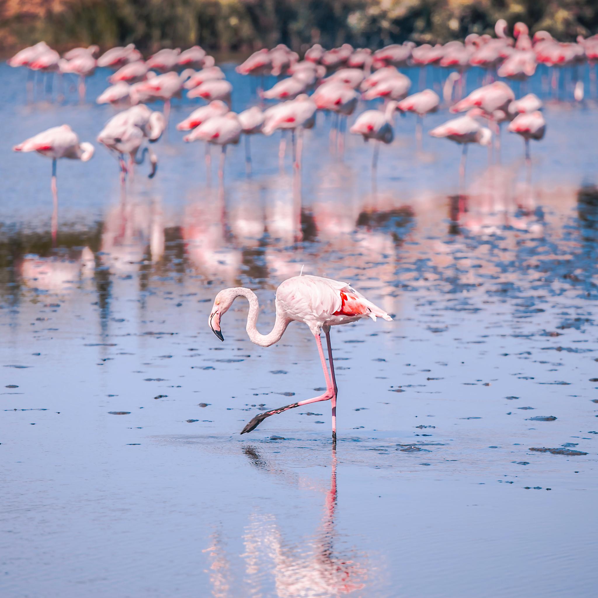 flamants roses dans les marais de camargue