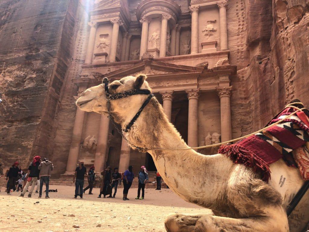 chameau devant petra en jordanie en septembre