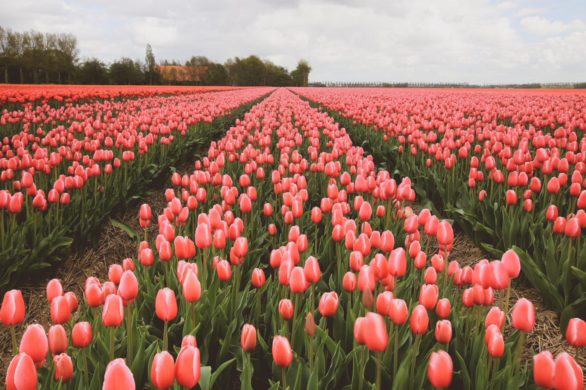 champ de tulipes roses aux Pays-bas