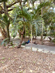 Paon dans le quartier de Coconut Grove a Miami