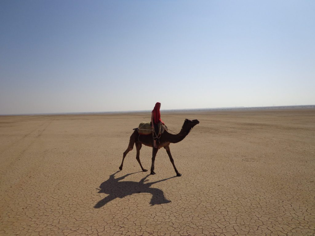 Dromadaire desert du Thar Inde