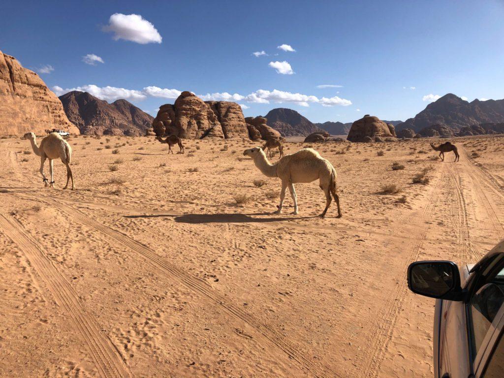 Dromadaires dans le désert de Wadi Rum en jordanie