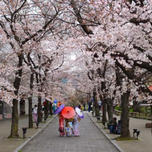 geishas sous cerisiers en fleurs a Kyoto Japon