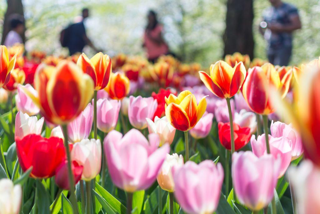 tulipes au parc de Keukenhof Pays-Bas