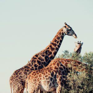Girafe au parc Kruger en Afrique du Sud