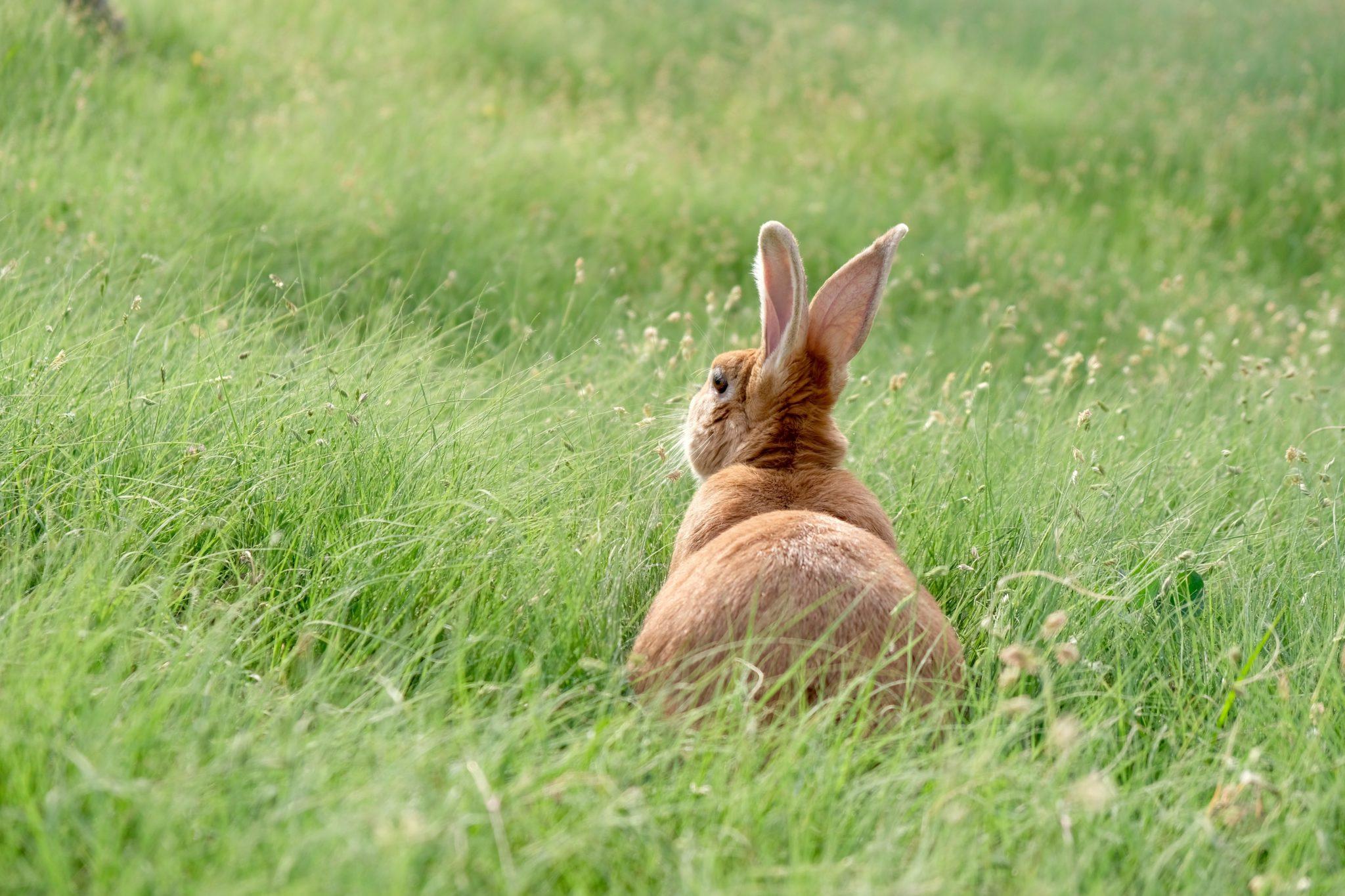 lapin de paques dans un champ
