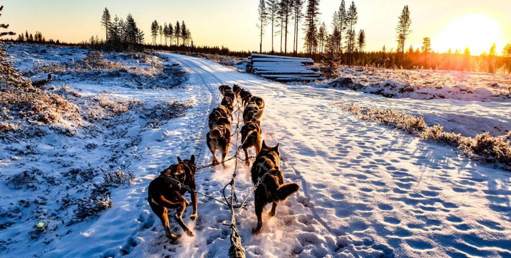 Chien de traineau en Laponie