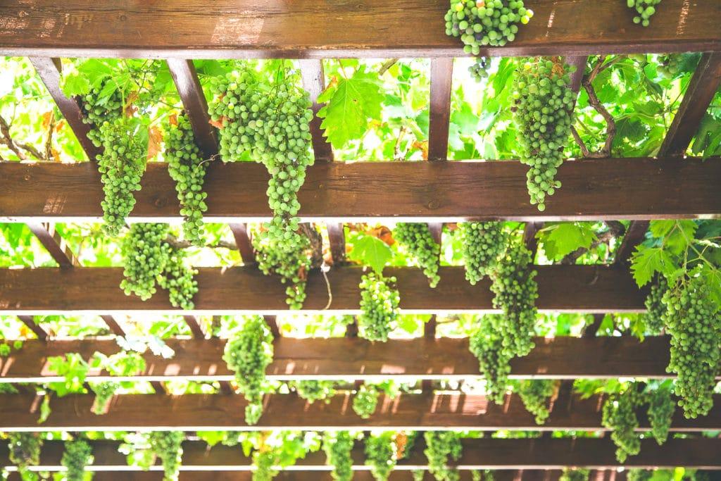 Grèce, vignes de Céphalonie
