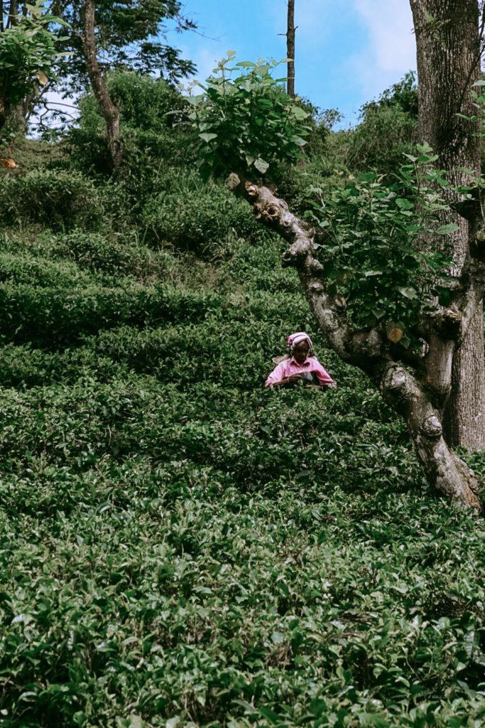 Ramasseuse de thé à Ella sur le chemin du Little Adam's Peak