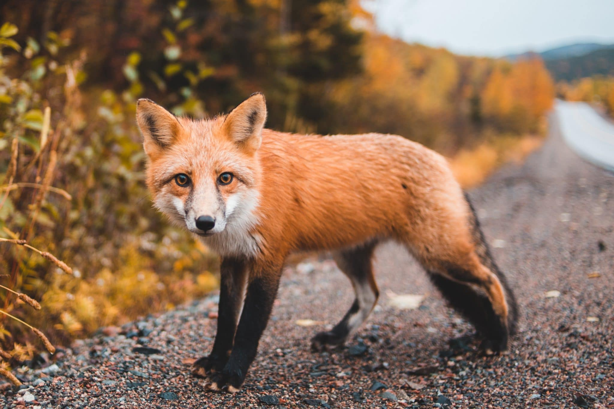 Renard journée mondiale des animaux