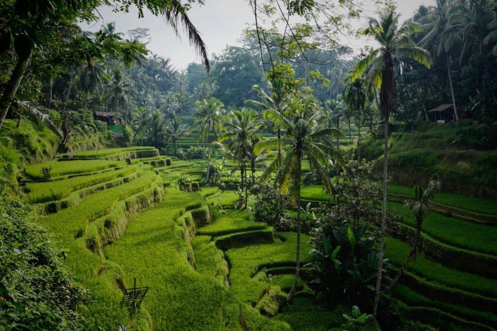 rizieres à Ubud, destination de rêve