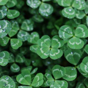 Trefle symbole de l'Irlande Saint-Patrick 2020