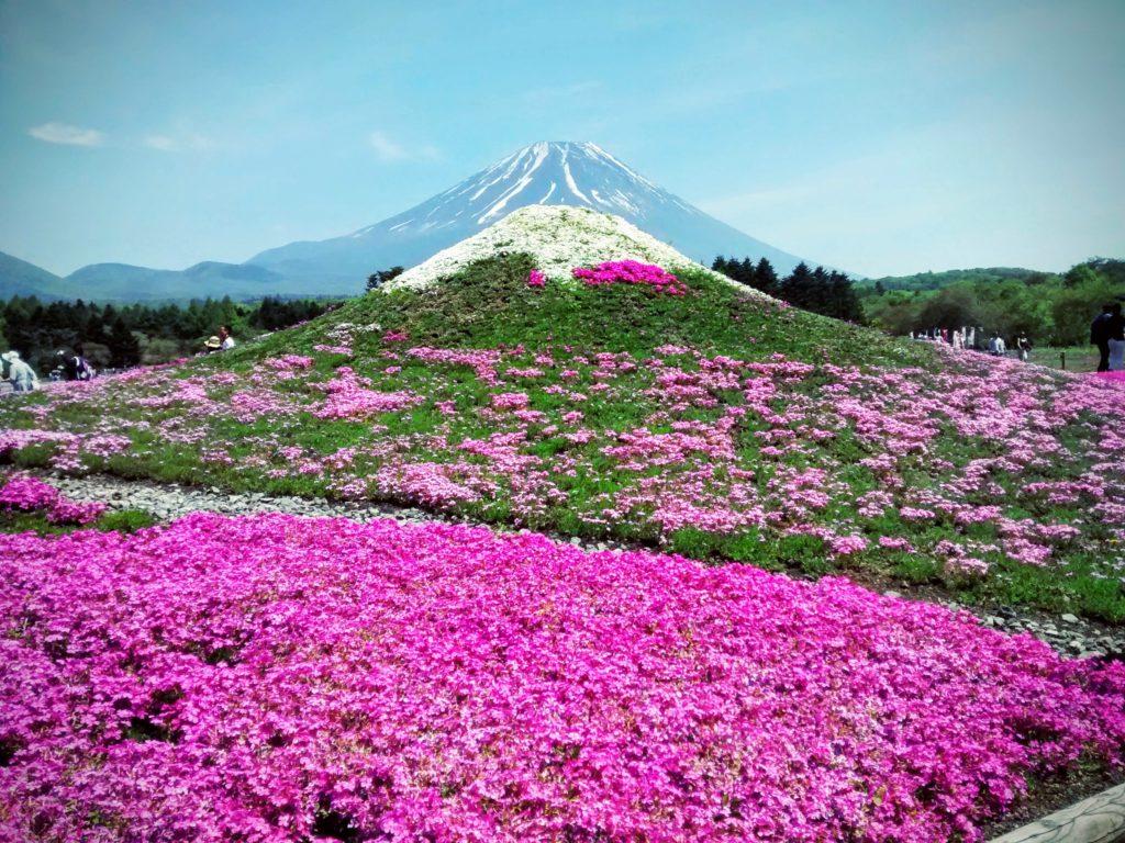 fleurs cerisier du japon au sol
