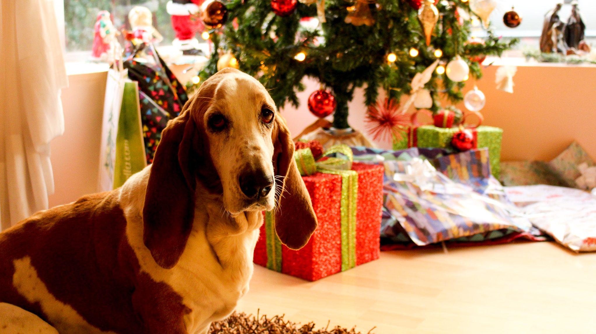 Secret Santa chien devant sapin de Noël