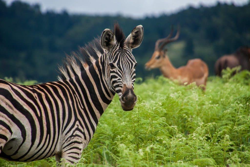 Zèbre au Swaziland