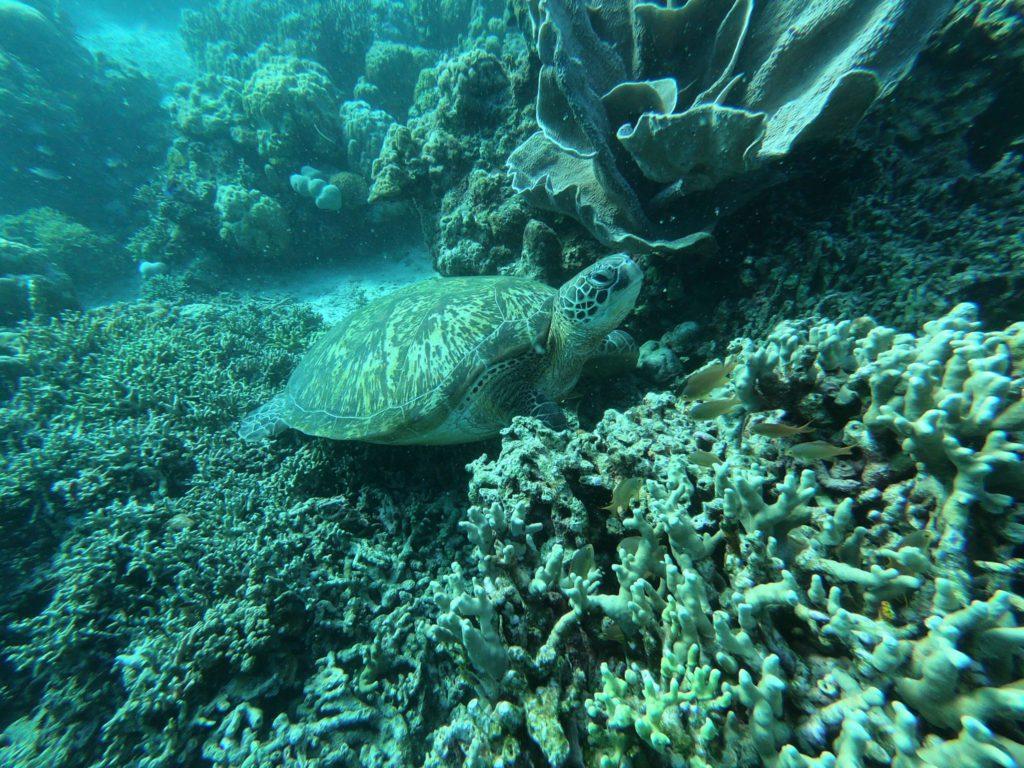 Tortue marine a Palawan