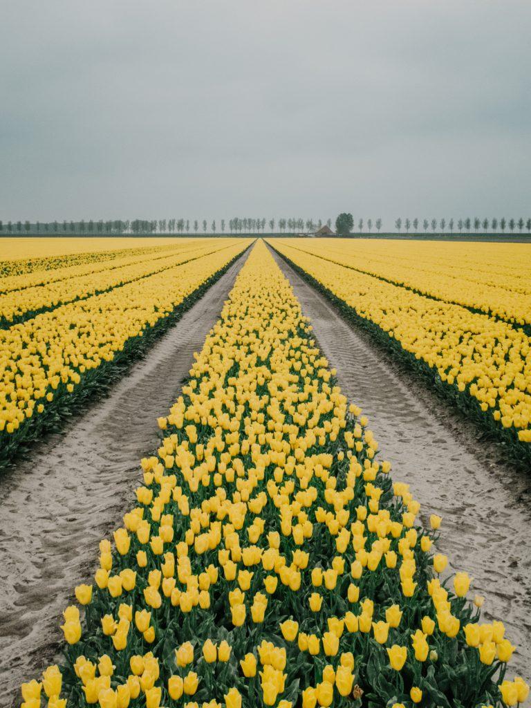 champ de tulipes jaunes